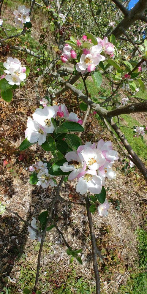 Valdepomme florece