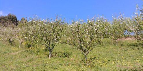 Los manzanos en flor de Valdepomme